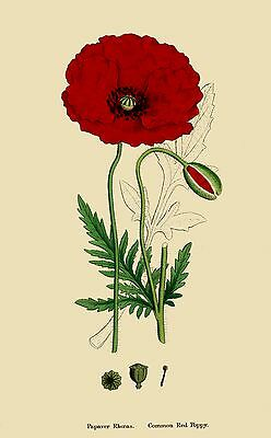 Reproduction Print on A4 -  J. Sowerby - English Botany 1863 - Common Red Poppy