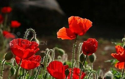 Red corn poppy Flower seed 100 seeds rose fieldpoppy Flanders coquelicot Pere
