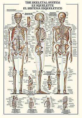 The Skeletal System Chart Education Human Anatomy Bone Print Poster 27x38.5