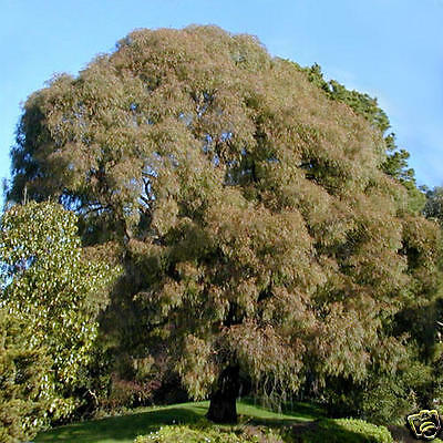 Willow Leaved Peppermint Gum Seed Popular Medium Evergreen Tree Frost/Drought OK