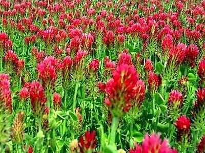 2 LB Crimson Red Clover Clover Seeds (Food Plot) Cover Crop  SAME DAY SHIPPING