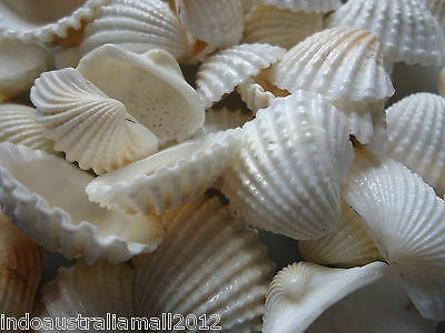 15 xNatural Sea Shell Beads Tribal Jewelery Craft White 15-25mm No Hole(PTS058Y)