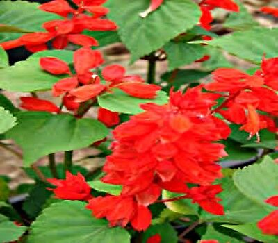 Salvia early bonfire red 20 Flower seeds stunning red