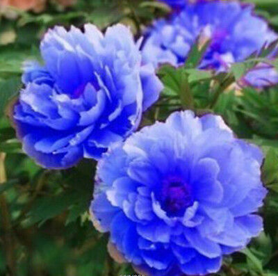 FD697 20 Seeds Chinese Blue Peony Flower Seed Beautiful Hot Flora Garden 20pcs:)