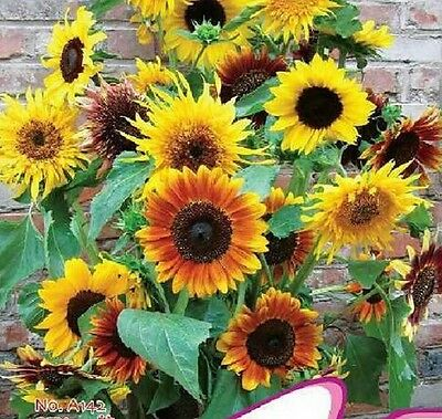 Flower Potted Dwarf Sunflower seeds Helianthus Annus Annual herb ~20PCs:)