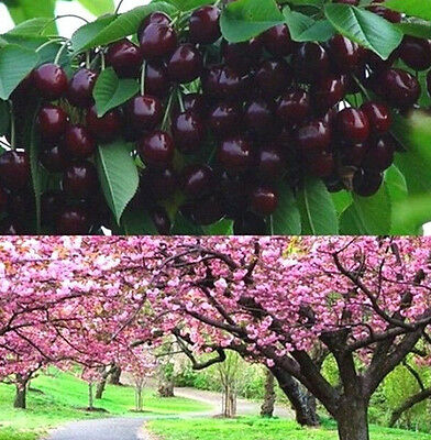 Cherry Seeds Mazzard Cherry Prunus Avium Flower Tree Seed Black ~10PCs~