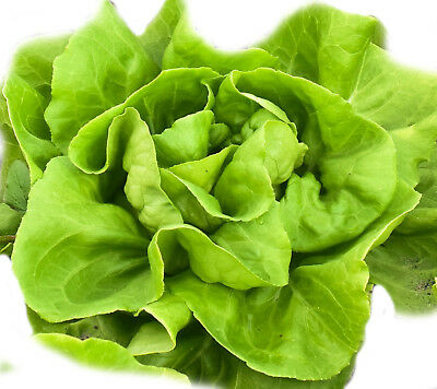 "LETTUCE ""Butteruttercrunch"" 200 seeds  vegetable seeds easy to Grow"