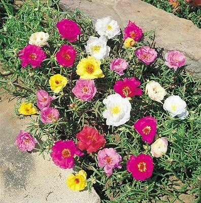 Portulaca Double Flower Mix Seed Annual Succulent 200 Seeds