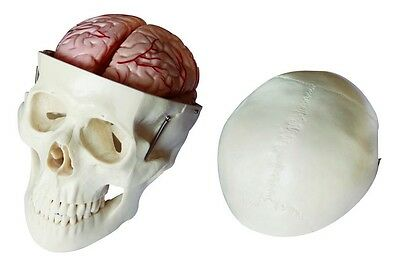 Skull Model with 8 Parts Brain - Human Anatomy Skull Model