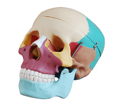 Life-Size Human Skull Anatomy Model with Colored Bones - Anatomical Model