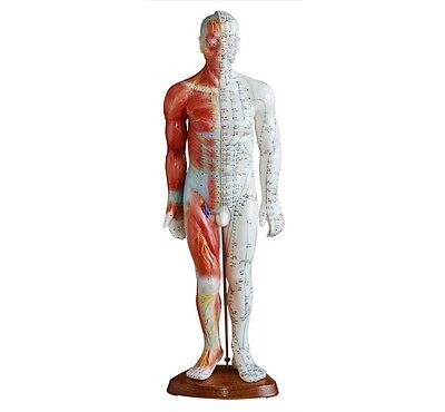 Acupuncture and Muscle Model 55cm Male Model on a Wooden Stand