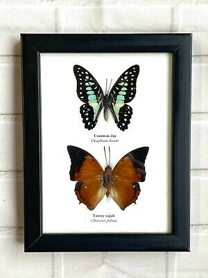 2 Framed Butterflies Taxidermy Insect Wooden Picture Frame Genuine Specimens Bug