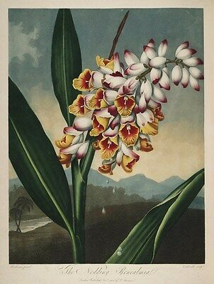 Reproduction Print on A4 - The Temple of Flora 1807 -Nodding Renealmia