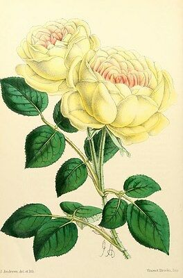Reproduction Print on A4 - The Floral Magazine 1869 -Tea Rose, Mme Margottin