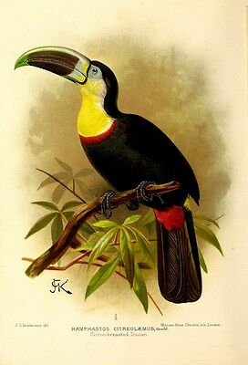 Reproduction Print on A4 - J.G. Keulemans - Toucan 1898