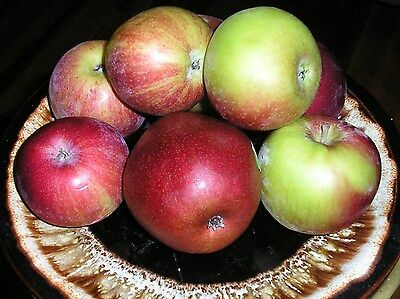 FIVE IN ONE APPLE  3**FT* COCKTAIL TREE **FLOWERING FRUIT TREES**CHRISTMAS GIFT