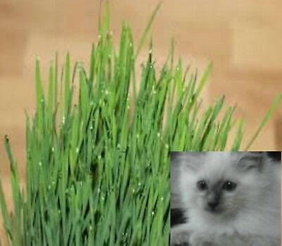 CAT GRASS 5000 catgrass seeds cats rabbits guinea pigs chickens luv it