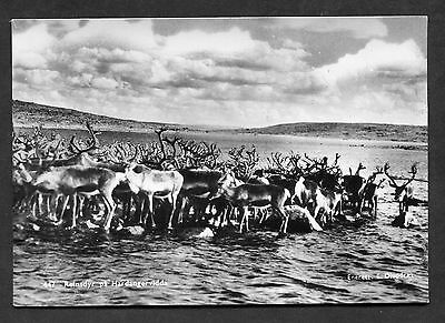 Postcard - c1950's View of Reindeer on the Hardangervidda Plateau, Norway