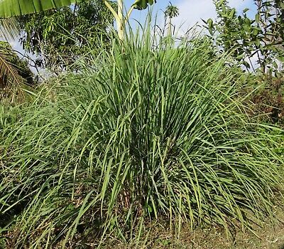 Lemongrass * 20 Seeds *  East Indian Herb Seed lemon grass