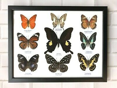 9 Framed Butterflies - Real Genuine Specimens - Uk Seller - Taxidermy Insect