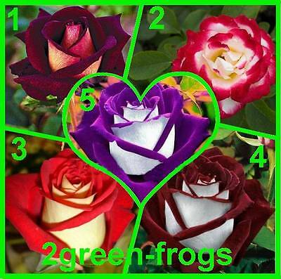 5 ROSES 10 SEEDS U pick Twilight,Rose Gaujard,Kibou,Love In Purple Dragon UNIQUE