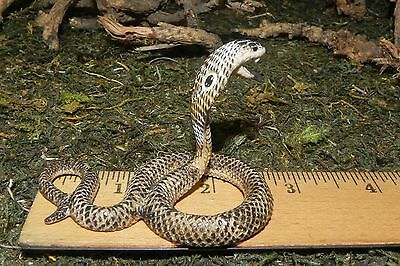 Retired Asian King Cobra Schleich Wild Life Animal Figurine Replica Diorama