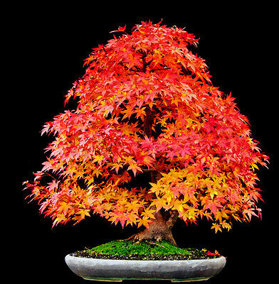 Red Japanese Maple (Acer rubrum) *RED SUNSET* Landscaping Tree Seeds Bonsai