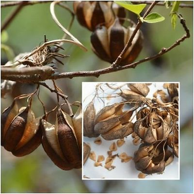 Approx 200 Seeds Aristolochia indica - Krachao Seeda with 5 Dried Pods