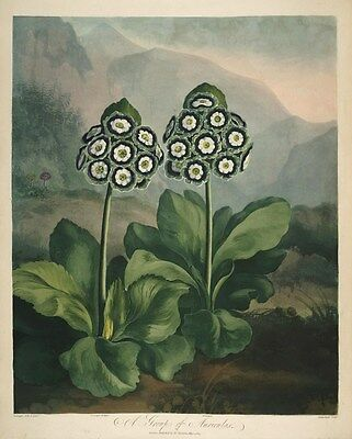 Reproduction Print on A4 - P. Reinagle - The Temple of Flora 1807 - Auriculas