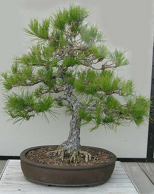JAPANESE PINE TREE.GREAT FOR BONSAI  5 seeds per pack