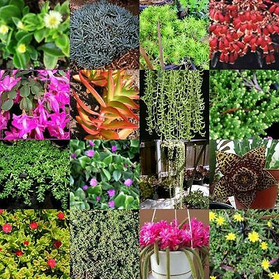 85 Different Succulent Cuttings NO POTS Drought Hardy Plants Succulents Cacti