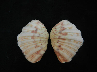 Giant Clam Shell Matched Pair Bear Paw 3 1/2 Inches