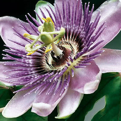 10 PURPLE GRANDILLA PASSION FLOWER Passiflora Incarnata Seeds