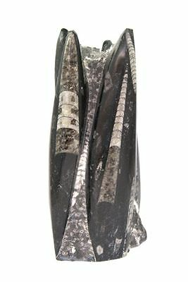 Orthoceras Fossil Standing Polished Display Piece ORTHS09
