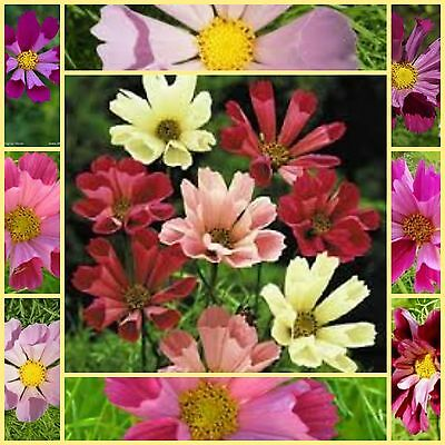 Cosmos seashells mix 100 unusual cottage  garden flower seeds NOT FOR WA OR TAS