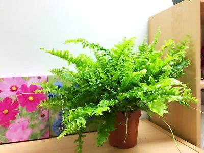 1 Live Boston Fern Large House plant @ pot Indoor Tropical  Graden Nephrolepis