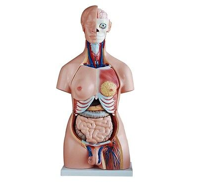 Unisex Torso - 85cm Tall - Life Size With 40 Parts - New