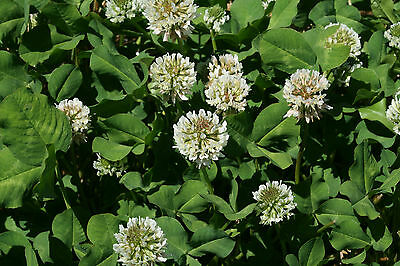 5 LB Coated & Inoculated White Ladino Clover Seed Deer Bees Pasture 1 acre