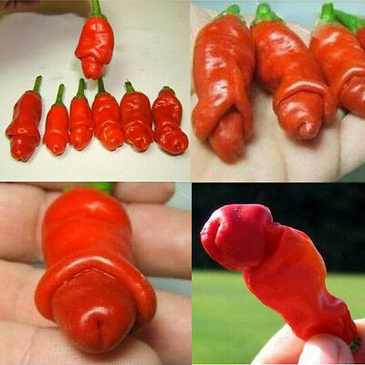 30 Peter Pimiento Erotico Semillas Seeds Chili Peppers