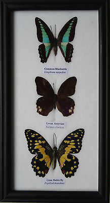 3 Framed Butterflies Real Specimens Butterfly Picture Frame Taxidermy Insect
