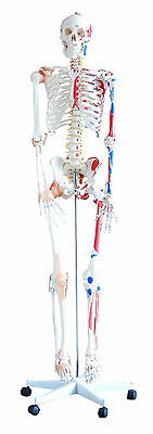 Human Skeleton - Life Size 180cm Tall - With Muscles and Ligaments