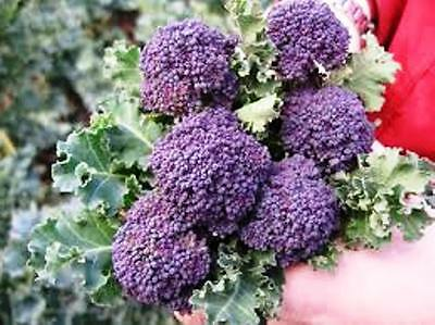 Purple Sprouting Broccoli 100 vegetable seeds ( Beta vulgaris ) NOT TO WA