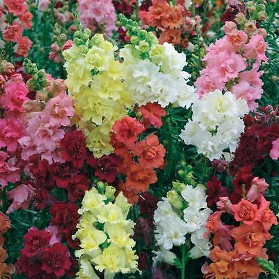 Antirrhinum Madame Butterfly Seed Cut Flower Early Flowering Snapdragon Beauty