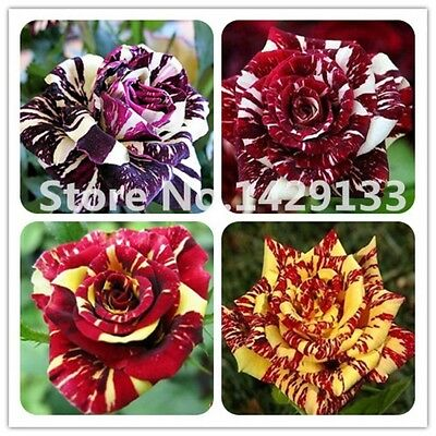 Mixed Strip Shrub Rose Flower Seeds 100PCS Rare Bush Rose Flower Exotic Plant