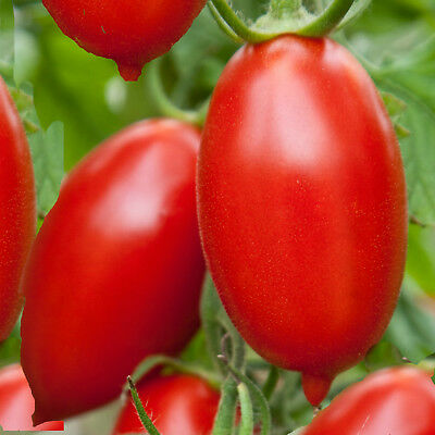 TOMATO Amish paste 25 seeds vegetable SEEDS HEIRLOOM VARIETY