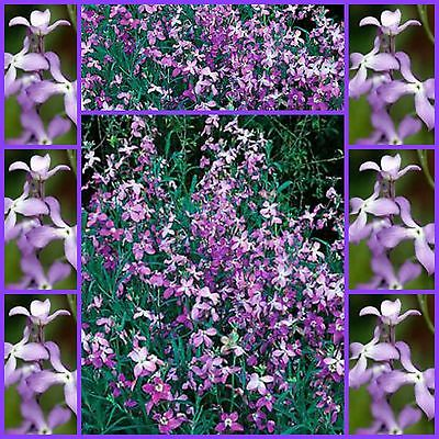 Evening Scented Stock 150 flower garden seed heavenly fragrant not for WA or TAS