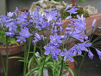Peter Pan Agapanthus Dwarf Seeds, Low Maint Flowers Spring/Summer Drought Hardy