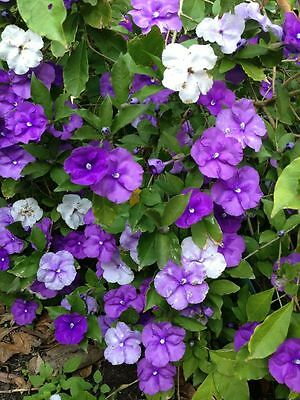 Yesterday Today & Tomorrow Seed Three Color Flowers at Same Time Evergreen Shrub