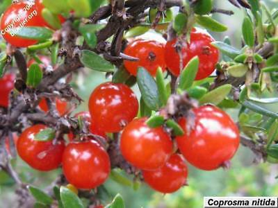 Mountain Currant Seed Bush Tucker Shrub Edible Berries Cold Tolerant