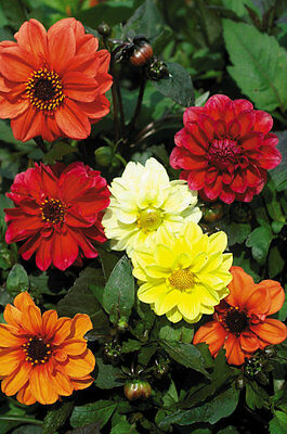 Dahlia Dwarf Bloody Mary Mix Seed SemiDouble Flower Easily Grown Perennial
